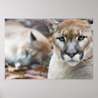 Cougar, mountain lion, Florida panther, Puma 2 Poster