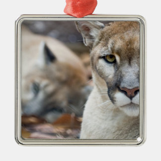 Cougar, mountain lion, Florida panther, Puma 2 Silver-Colored Square Decoration