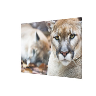 Cougar, mountain lion, Florida panther, Puma Stretched Canvas Print