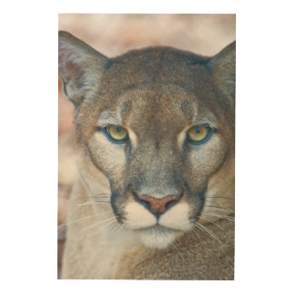 Cougar, mountain lion, Florida panther, Puma Wood Print