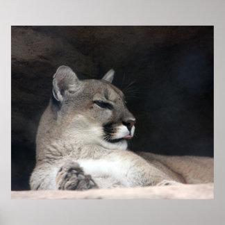 Cougar Mountain Lion Portrait Close-Up Posters