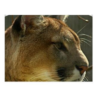 Cougar Puma Postcard