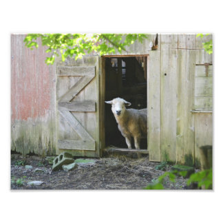 Country Sheep Photo Print