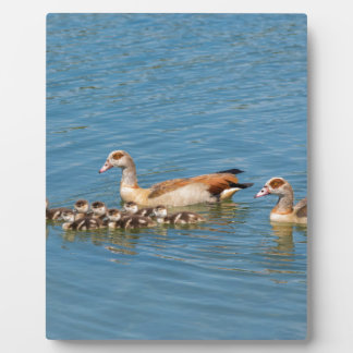 Couple nile geese swimming with newborn young plaque