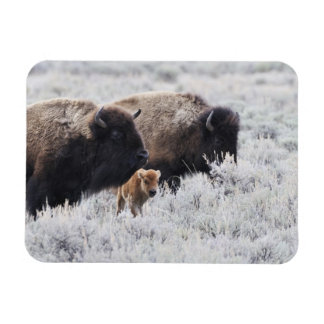 Cow and Calf Bison, Yellowstone Rectangular Photo Magnet