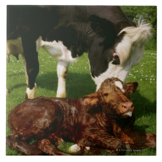 Cow and newborn calf large square tile