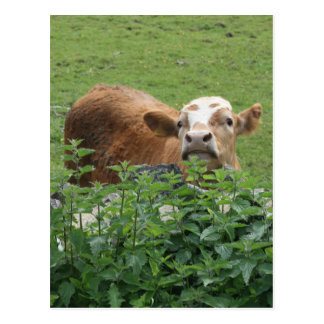 Cow and stinging nettles postcard