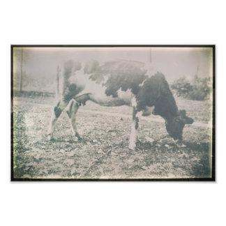 Cow Antique Cattle Farm Animal Grazing Grass Photo Print