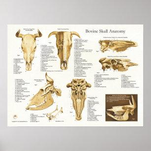 cow bovine skull anatomy chart