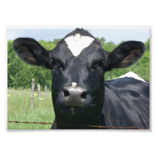 Cow Greetings 7 x 5 Photographic Print