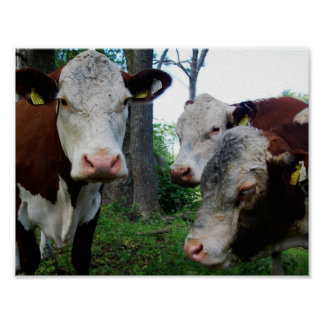 Cow Heifer Brown White Trio Gang Group Dairy Cute Poster