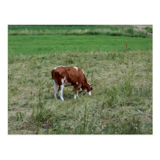Cow In The Pasture Postcard