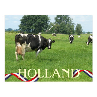 Cow looking at You Holland Cows Postcard