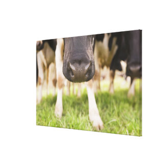 Cow nose canvas print