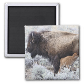 Cow Nursing Bison Calf, Yellowstone 2 Square Magnet