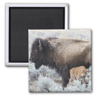 Cow Nursing Bison Calf, Yellowstone 3 Square Magnet