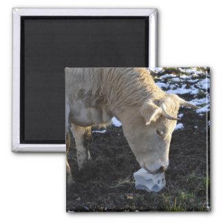 Cow which licking a block salt fridge magnet