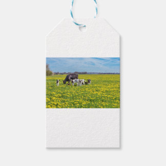Cow with calves grazing in meadow with dandelions