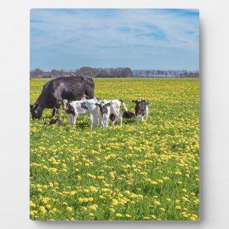 Cow with calves grazing in meadow with dandelions plaque