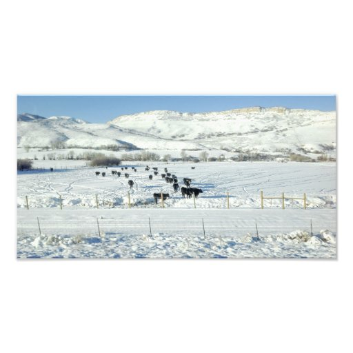 Cows Along Interstate 80 Coalville Utah USA Photo