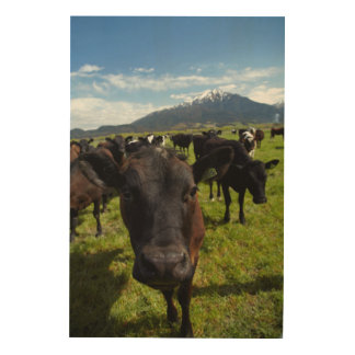 Cows and Mt Somers Wood Prints