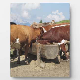 Cows drinking water from a trough display plaque