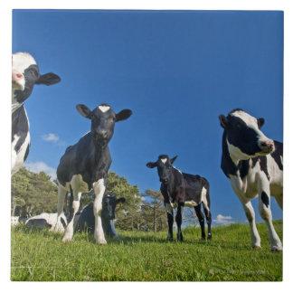 Cows feeding on pasture ceramic tile