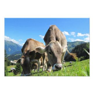 Cows in Austria Photo Print
