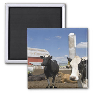 Cows in front of a red barn and silo on a farm 2 square magnet