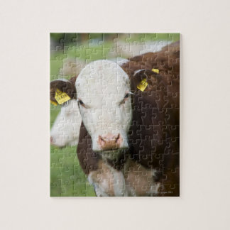 Cows in pasture, close-up puzzle