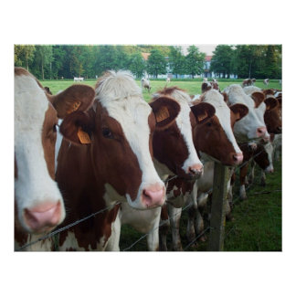 Cows in Row Poster