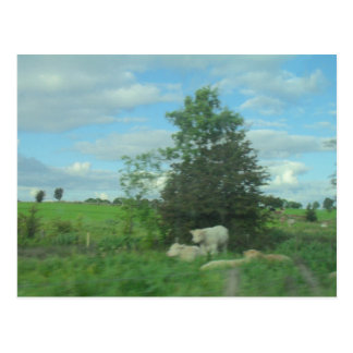 Cows in the Meadow Postcard
