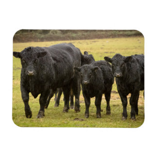 Cows in the rain rectangular photo magnet