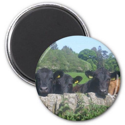 cows fridge magnets