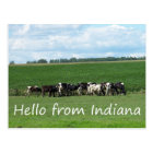 Cows of Indiana Postcard