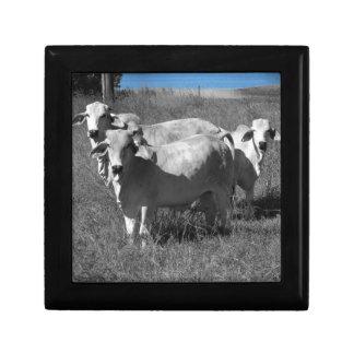 COWS QUEENSLAND AUSTRALIA GIFT BOX