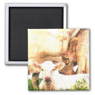 cows square magnet