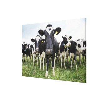 Cows standing in a row looking at camera canvas print