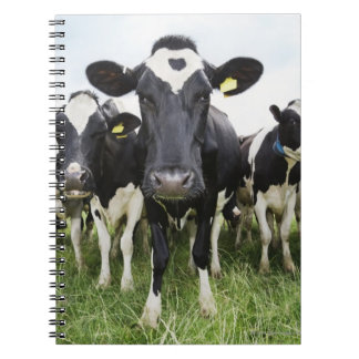Cows standing in a row looking at camera notebook