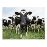 Cows standing in a row looking at camera postcard