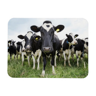 Cows standing in a row looking at camera rectangular photo magnet