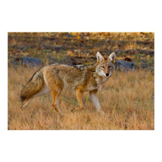 Coyote (Canis Latrans) Hunting Poster