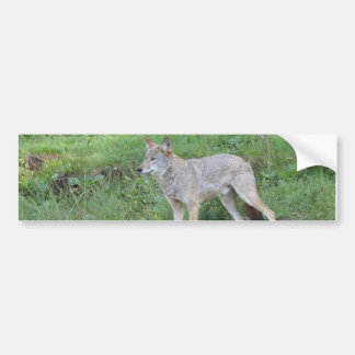 Coyote Collection Bumper Sticker