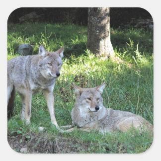 Coyote Collection Square Sticker