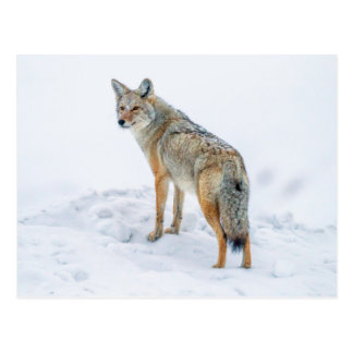 Coyote on alert in snow postcard