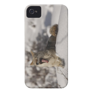 Coyote Snow Yawn iPhone 4 Cover