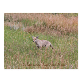 Coyote, Yellowstone National Park, Post Card
