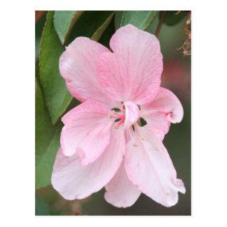 Crab Apple Blossom Postcard