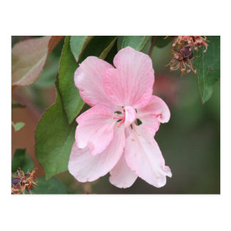 Crab Apple Blossom Post Cards
