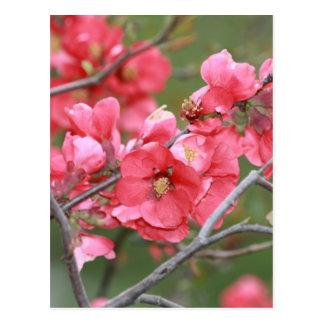 Crab Apple Blossoms Postcard